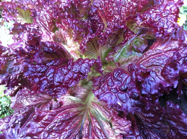 red oak lettuce...