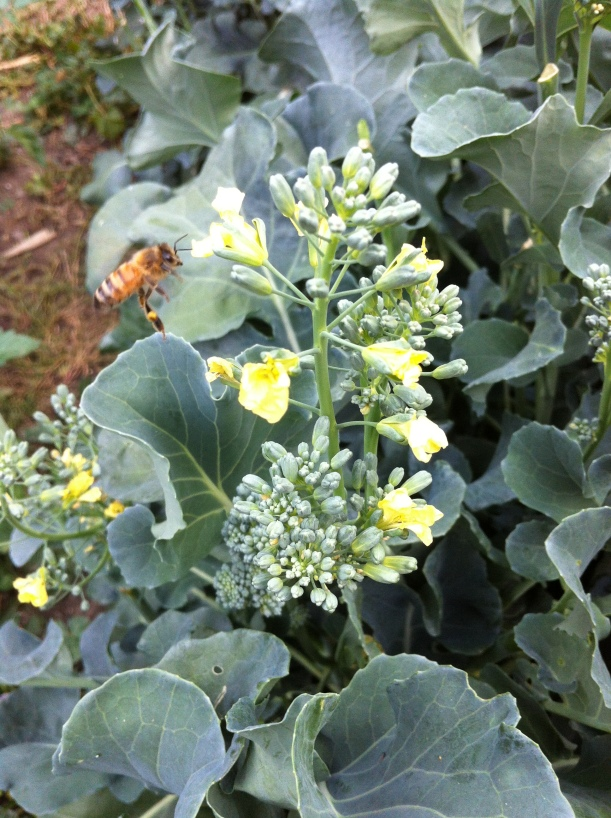 October bees and broccoli going to flower