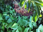 morning light playing through elderberries, bush beans, watermelon and mallow