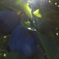 This is just to say - I love plums, and thank you, William Carlos Williams (with a recipe for plum pizza)