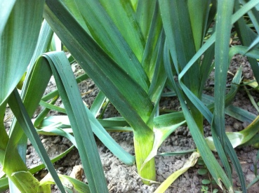 leeks are coming along and vichyssoise awaits!