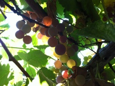 evening sun through the grapes