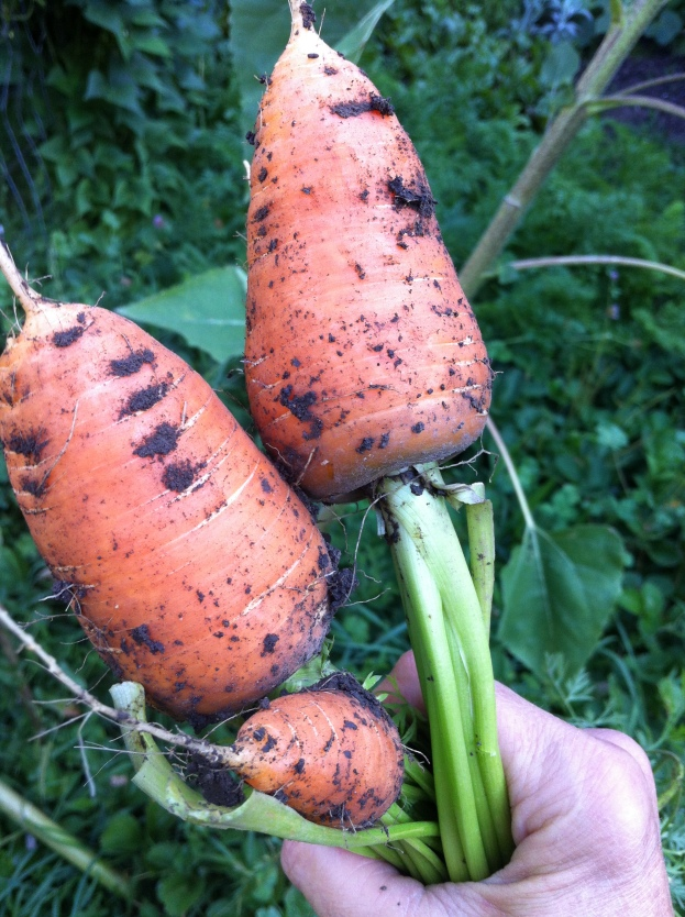Roots! massive scarlet nantes carrots