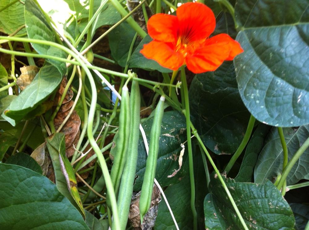 "beautiful ""Blue Lake"" green beans and nasturtium flower"