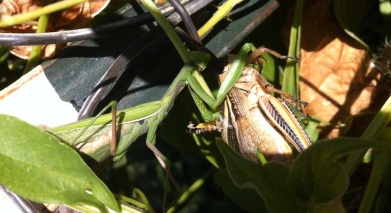the praying mantis swiveled it's head to eye me