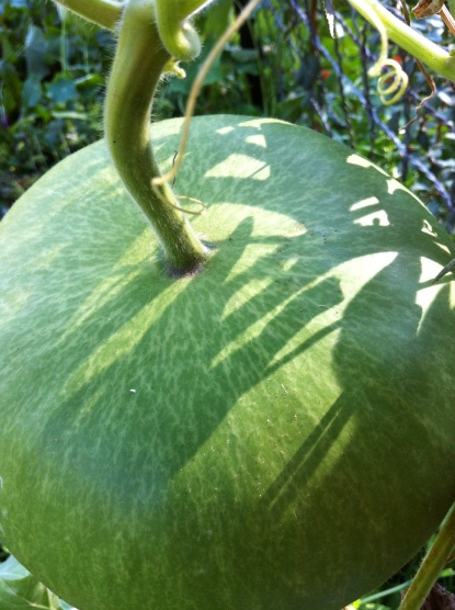 sun and shadow on a beautiful gourd