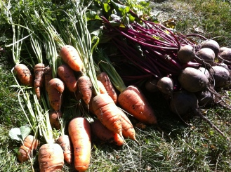 October 11, 2012 yield from the beet and carrot patch