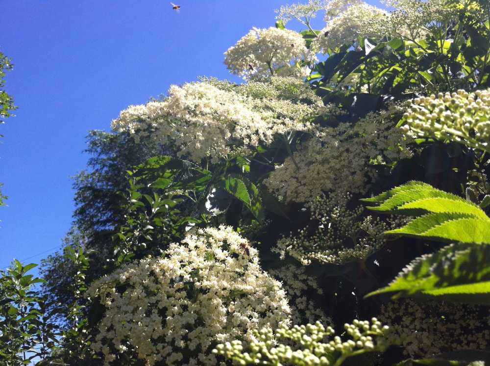 Clouds of elderberry blossoms, and hundreds of bees in bliss