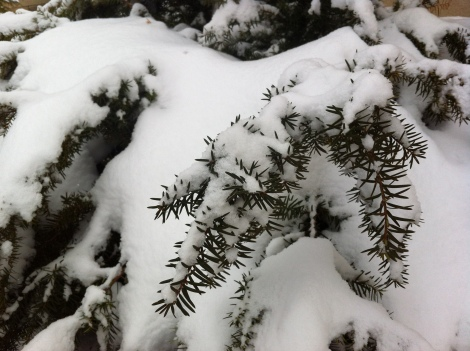 snow on the yew