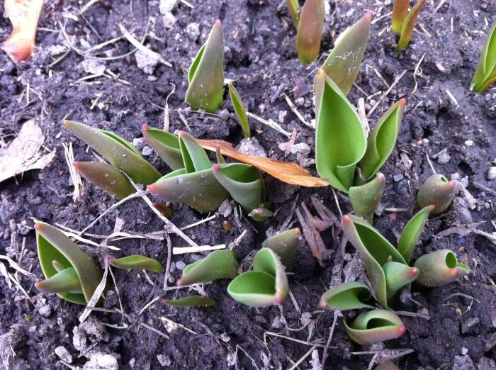 ...tulips of joy