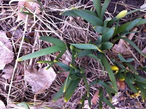 ....daffodils