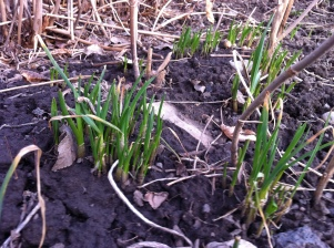 clusters of spring onions