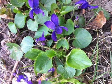 violets blooming everywhere!