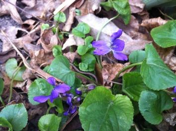 violets...lovely violets