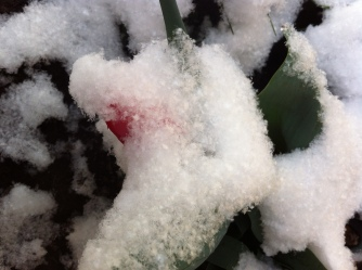 red tulip and exquisite snow flakes