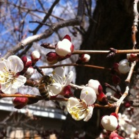 Welcoming Bees ... in the Apricot Blossoms