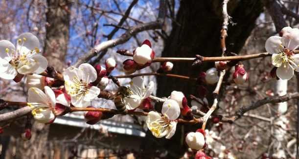 welcoming the bees ... and apricot blossoms