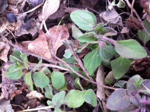 oregano in the garden