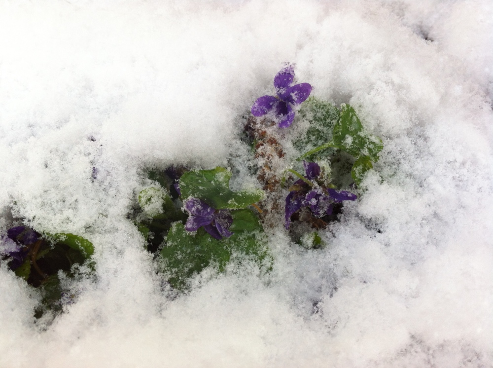 """sugared"" with snow - spring violets"