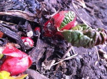 the fascinating start to rhubarb season
