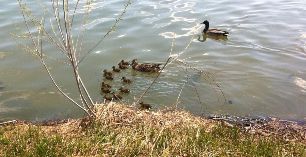 Washington park mallard mama and her twelve ducklings