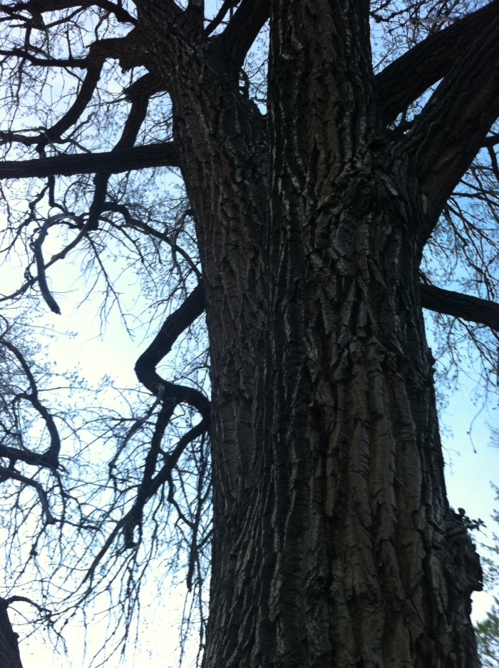 huge cottonwoods, one of which we had seen three owls, on another visit in the winter, at dusk, hooting softly back and forth to each other