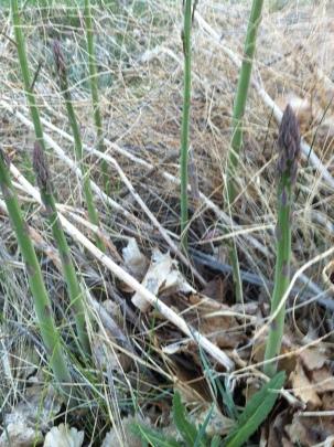 ---stalking the wild asparagus