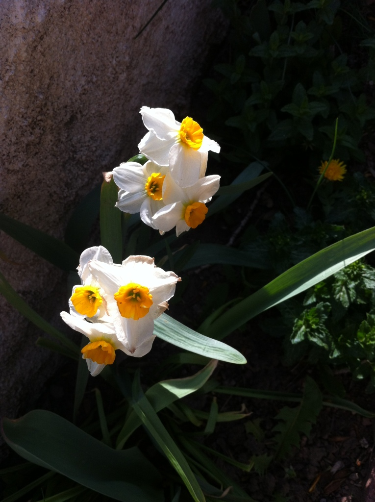 three headed daffodils near Loui's strawberry beds