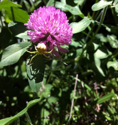 crab spiders spotted on red clover