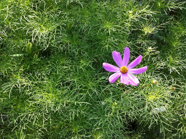 a morning bloom amongst the cosmos