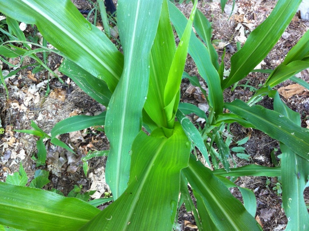 "my heirloom ""Glass Gem"" corn, whose seeds were planted by my friend, after I mailed them to my new home and garden"
