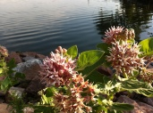 milkweed stars lakeside