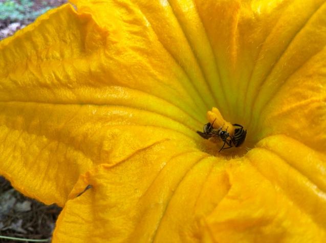 the refuge of a pumpkin flower