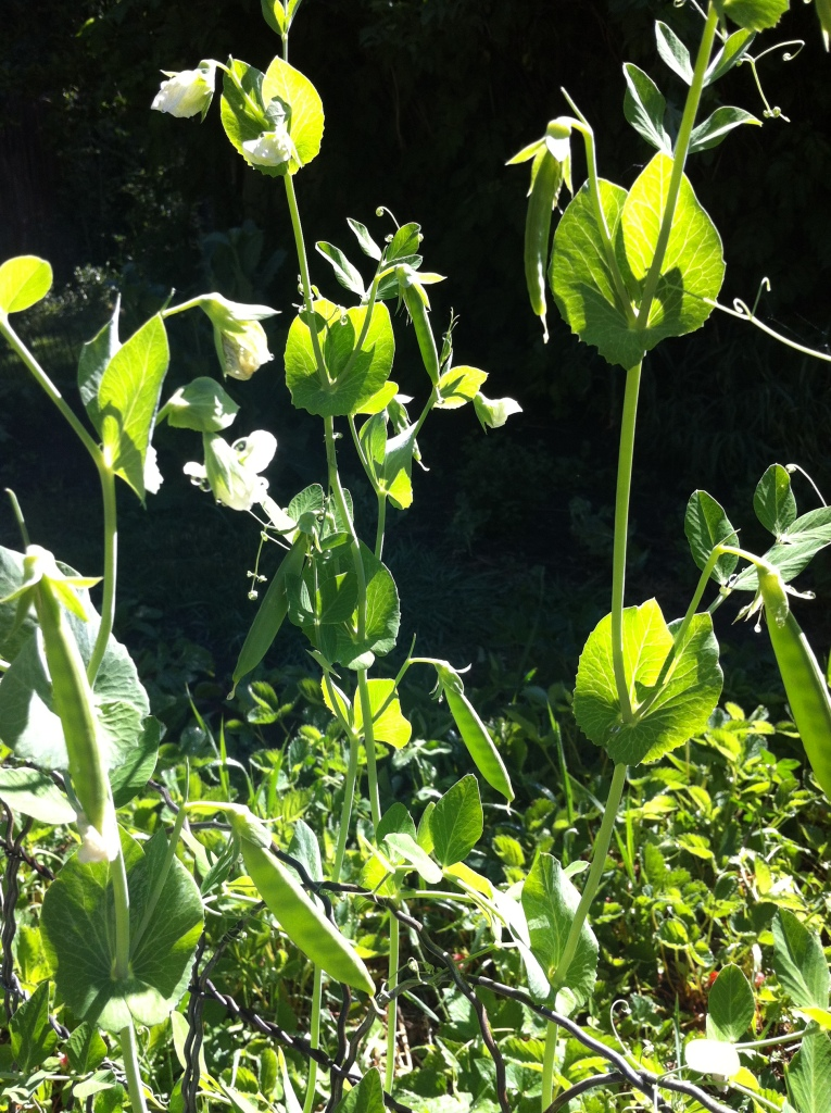 sunlight...through the pea plants...makes me happy