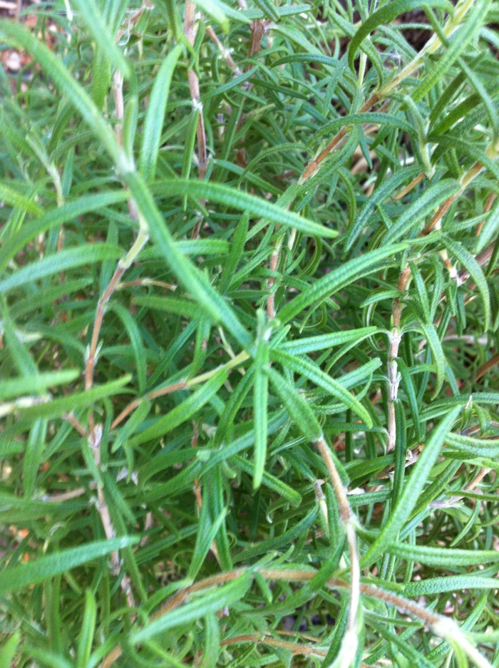 thicket of rosemary