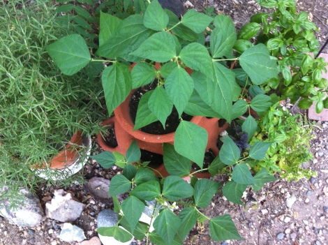 Why yes, heirloom Hungarian wax beans can grow in a strawberry pot, after the bunnies ate the first plants down to the ground!