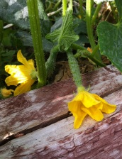 Wee baby cucumbers in flower
