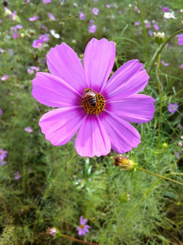 bees in the cosmos