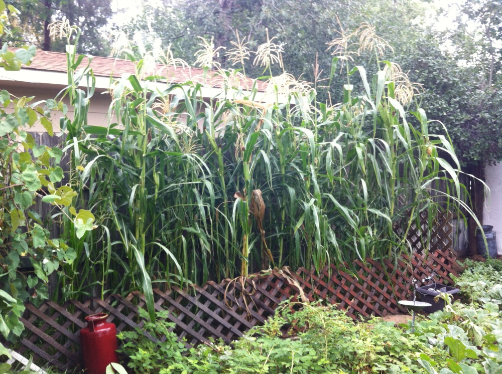 Little gem studded plot: Our tall stand of Glass Gem corn