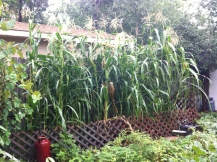 Our tall stand of Glass Gem corn
