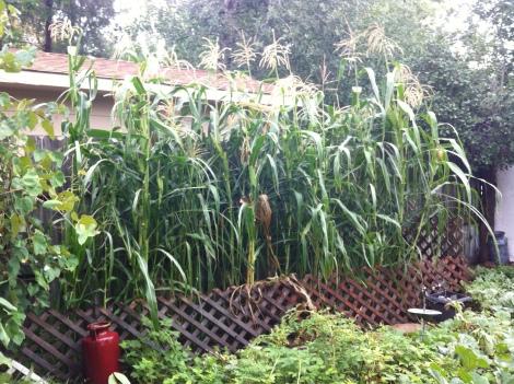 Little gem studded plot: Our tall stand of Glass Gem corn