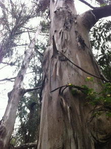 Eucalyptus towering over Highway 1