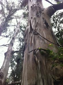 Eucalyptus towering over Highway 1