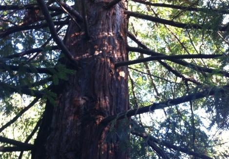 the incredible redwood