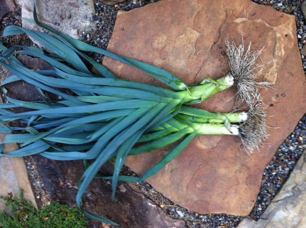 You just can't beat freshly pulled leeks - if you've ever done it, you know! They do not give up their place in the ground easily!