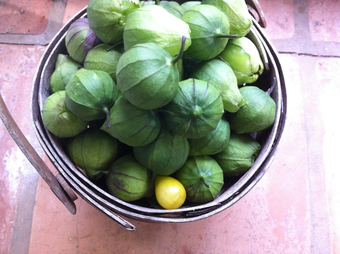 a fine haul of tomatillos for salsa