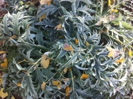 frost tinged artichoke with cottonwood leaves