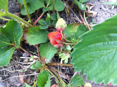 spring strawberries - a bumper crop Paonia 2013!