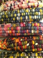 dazzling Glass Gem corn harvest
