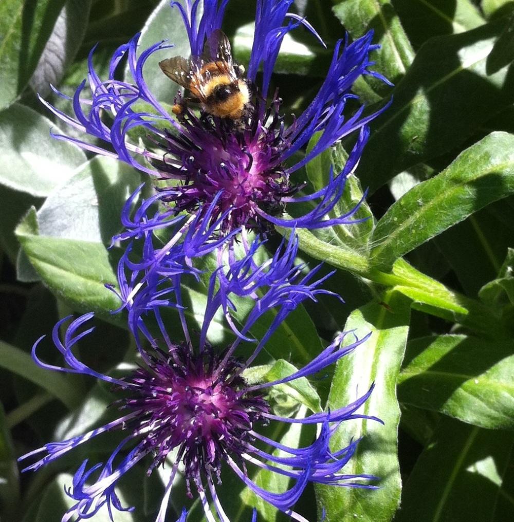 bumblebee in blue